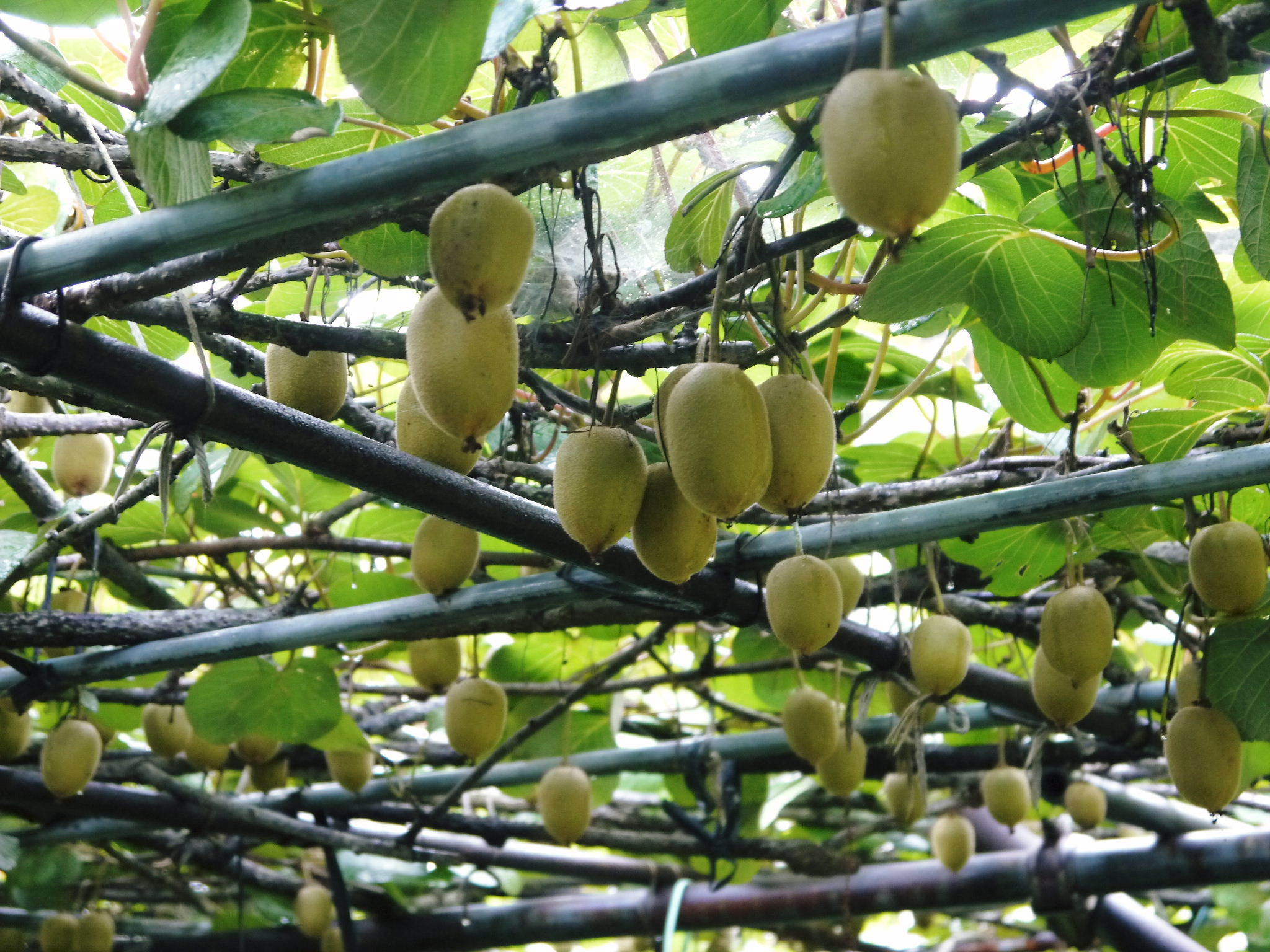 水源キウイ 今年(令和2年)も完全無農薬で育ててます!雨にも負けず元気に育ています!_a0254656_18510824.jpg