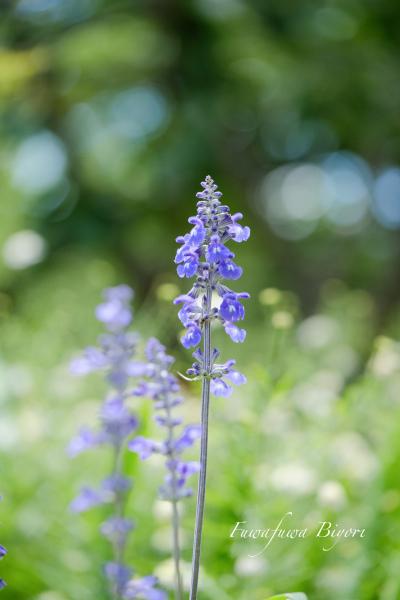 ブルー系の花 **_d0344864_20394955.jpg