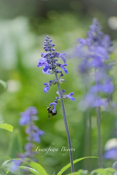 ブルー系の花 **_d0344864_20401469.jpg