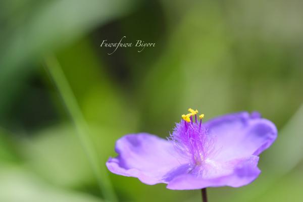 ブルー系の花 **_d0344864_20404062.jpg