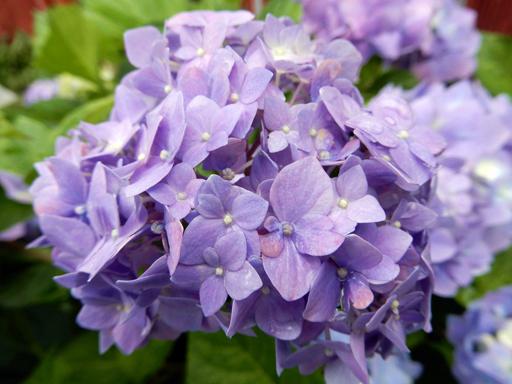 梅雨と紫陽花_d0366590_16415070.jpg