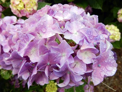 梅雨と紫陽花_d0366590_16424624.jpg