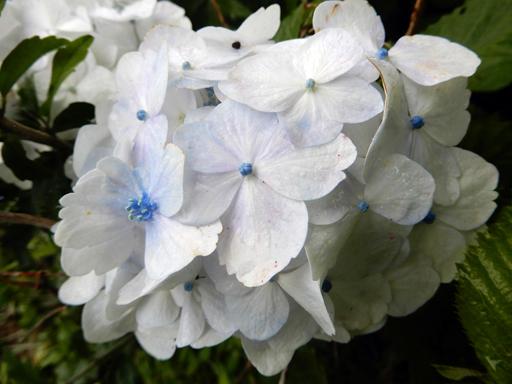 梅雨と紫陽花_d0366590_16424672.jpg