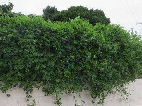 久高島の植物_a0203003_19581614.jpg