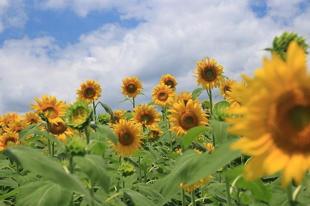 アグリのひまわり畑(その1)(撮影:7月2日)_e0321325_14260830.jpg