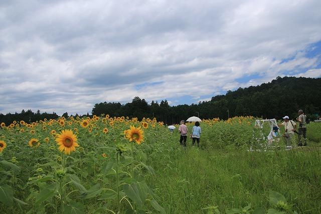 アグリのひまわり畑(その2)(撮影:7月2日)_e0321325_14472796.jpg