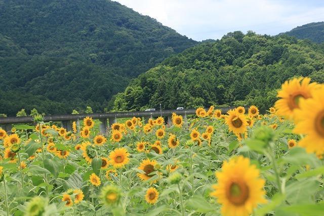 アグリのひまわり畑(その2)(撮影:7月2日)_e0321325_14485326.jpg