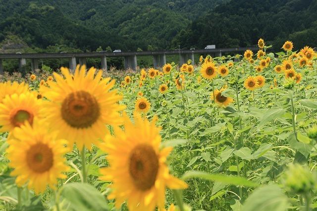 アグリのひまわり畑(その2)(撮影:7月2日)_e0321325_14492258.jpg