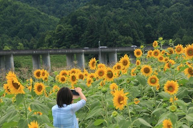 アグリのひまわり畑(その2)(撮影:7月2日)_e0321325_14493511.jpg