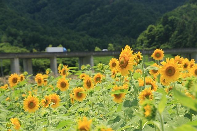 アグリのひまわり畑(その2)(撮影:7月2日)_e0321325_14500406.jpg