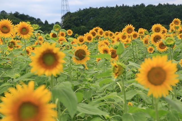 アグリのひまわり畑(その2)(撮影:7月2日)_e0321325_14501660.jpg