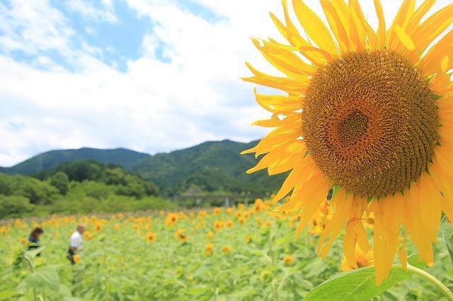 アグリのひまわり畑(その2)(撮影:7月2日)_e0321325_14505739.jpg