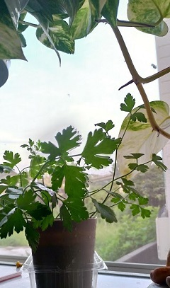 ウチの台所で育つ野菜/今日のおはようGACKTさん_c0036138_21425387.jpg