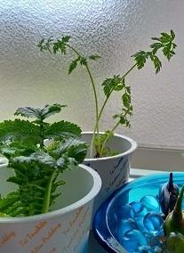 ウチの台所で育つ野菜/今日のおはようGACKTさん_c0036138_22275754.jpg