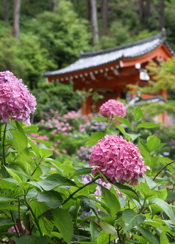 京都 三室戸寺 紫陽花 3_c0108146_22013811.jpg