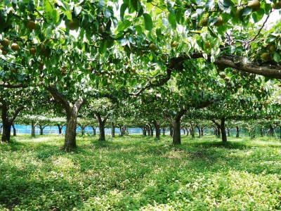 熊本梨 こだわりの樹上完熟梨『幸水』令和2年の先行予約の受付をスタート!初回出荷は7月31日(金)です!_a0254656_18110575.jpg