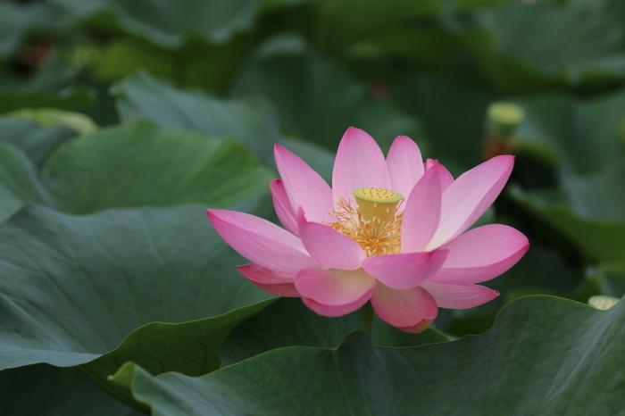 千葉公園の大賀ハス♪美しい姿にうっとり 4_d0152261_18271402.jpg