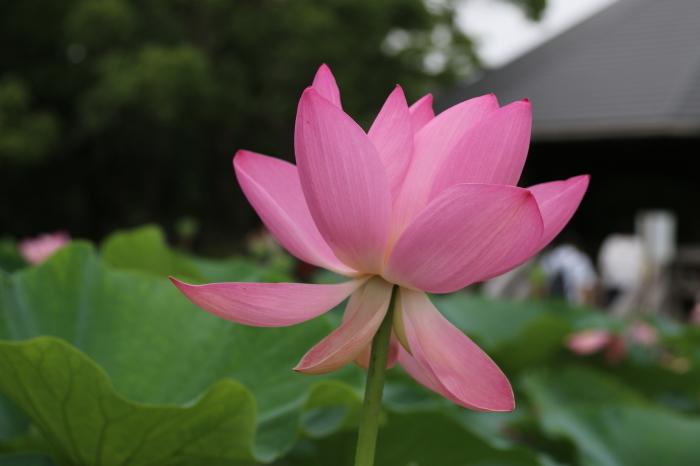 千葉公園の大賀ハス♪美しい姿にうっとり 4_d0152261_18281017.jpg