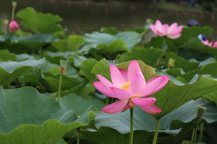 千葉公園の大賀ハス♪美しい姿にうっとり 4_d0152261_18282958.jpg