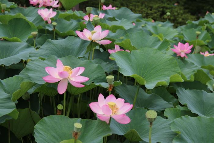 千葉公園の大賀ハス♪美しい姿にうっとり 4_d0152261_18285511.jpg