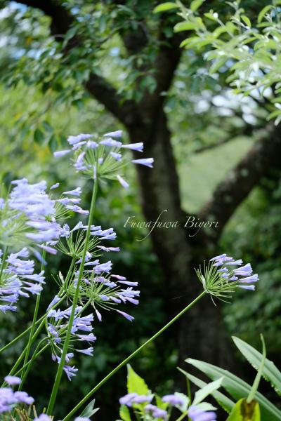 ブルー系の花 **_d0344864_14080613.jpg