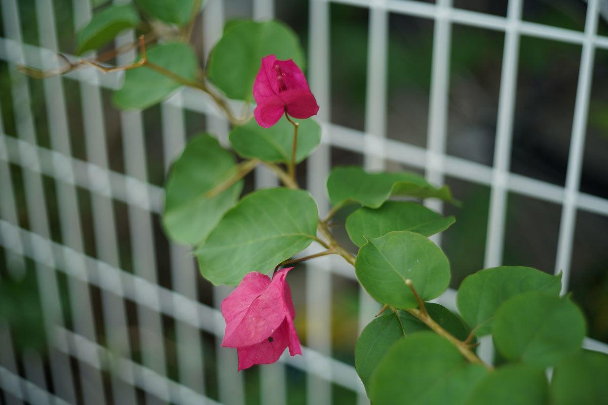 七月の赤い花_c0086269_20384960.jpg