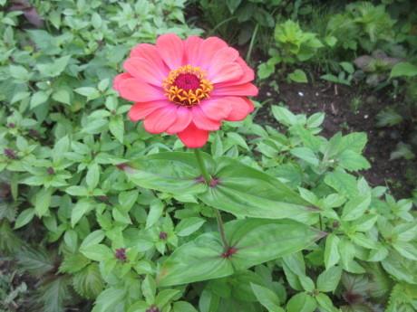 アピオスの花、山芋のむかご_a0203003_09381697.jpg