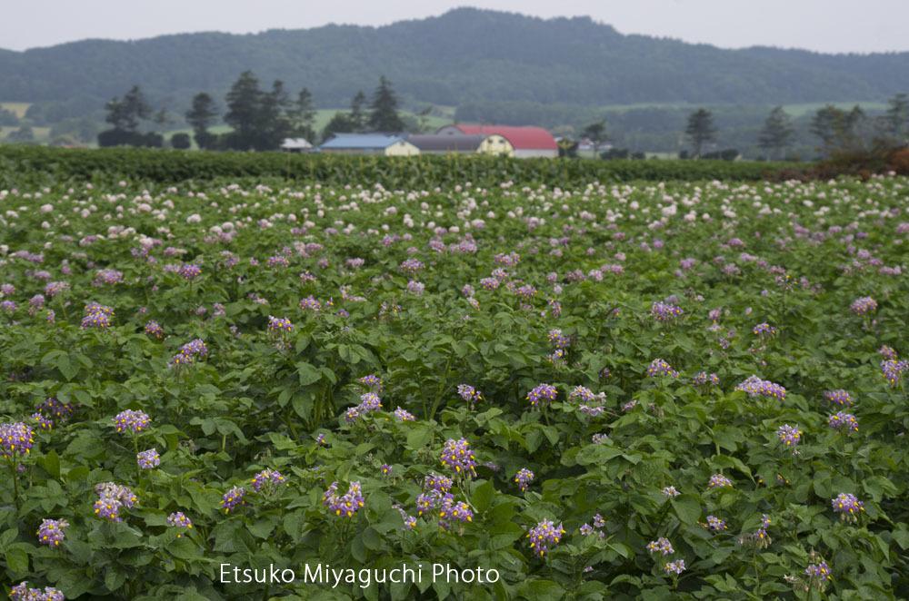 ジャガイモの花畑_f0152939_14205015.jpg