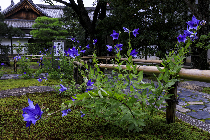 建仁寺・禅居庵の桔梗と放生池の蓮_f0155048_2159782.jpg