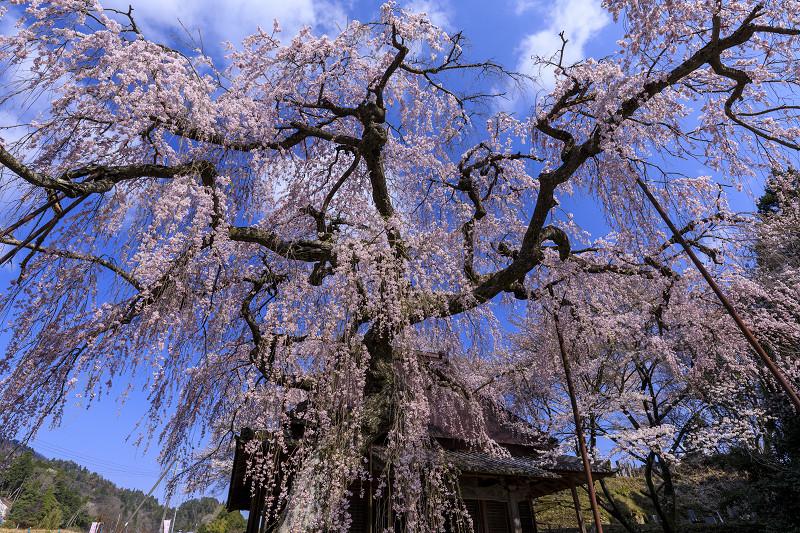 2020桜咲く奈良 西光寺 城之山枝垂れ桜_f0155048_23551928.jpg
