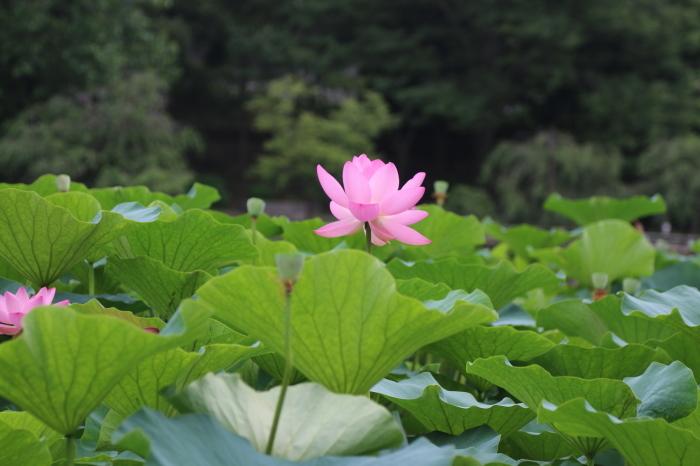 千葉公園の大賀ハス♪美しい姿にうっとり 5_d0152261_13281617.jpg