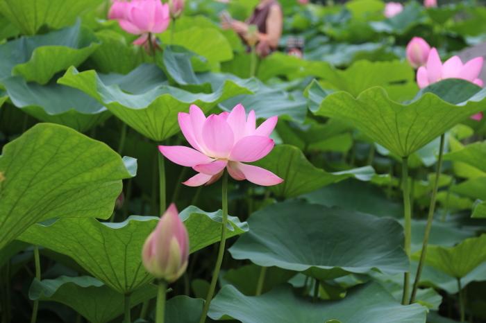 千葉公園の大賀ハス♪美しい姿にうっとり 5_d0152261_13290375.jpg