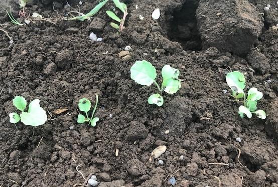 カボチャ初収穫、ネギ追肥・土寄せ7・20~21_c0014967_21042695.jpg
