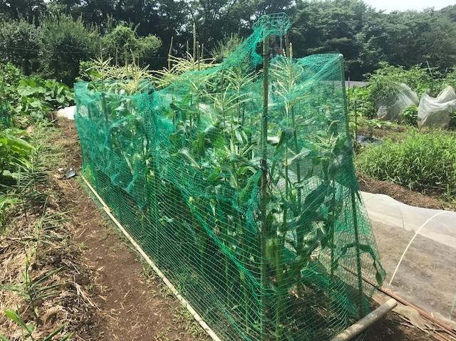 カボチャ初収穫、ネギ追肥・土寄せ7・20~21_c0014967_21054560.jpg