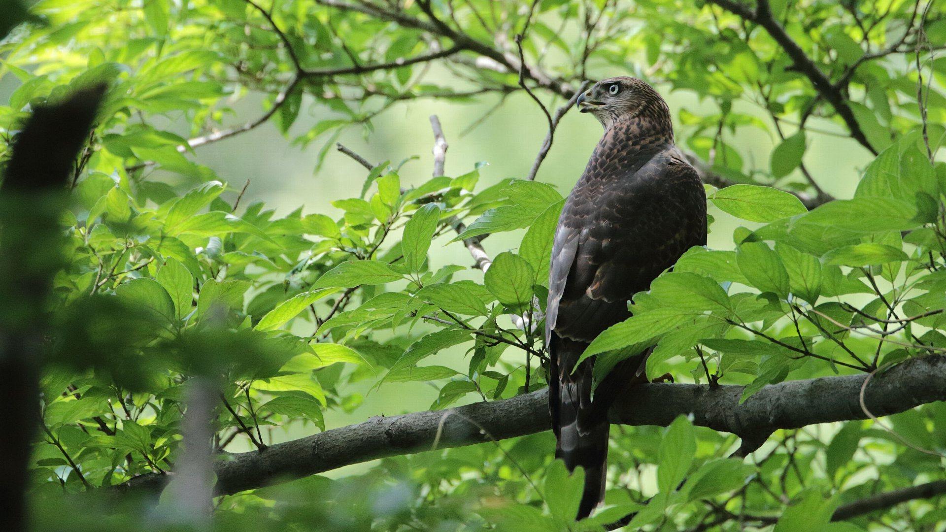 オオタカ幼鳥が緑の中に_f0105570_21010643.jpg