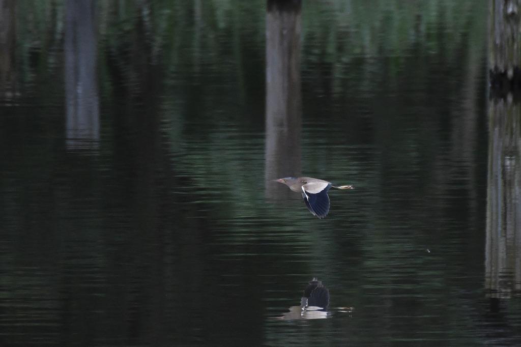 ヨシゴイやコムクドリなどが見られました!★先週末の鳥類園(2020.7.18~19)_e0046474_00121827.jpg