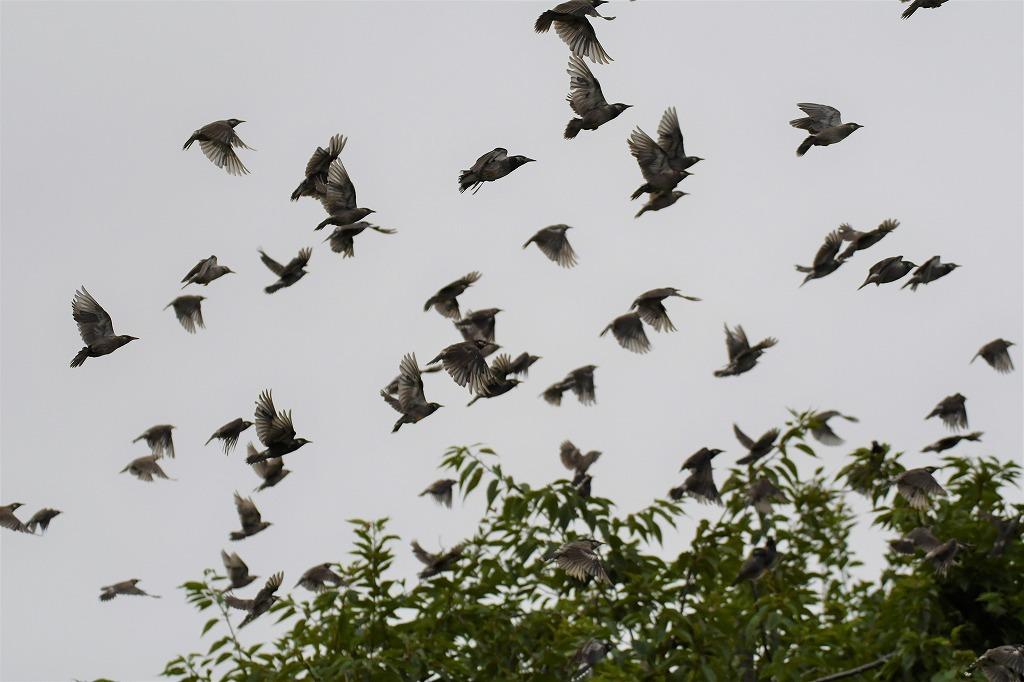 ヨシゴイやコムクドリなどが見られました!★先週末の鳥類園(2020.7.18~19)_e0046474_00122699.jpg