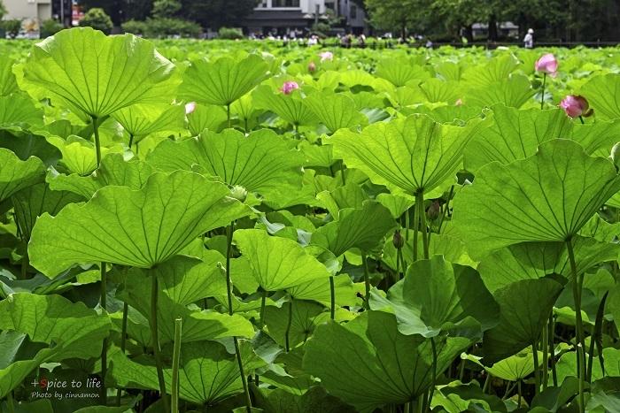 Lotus #葉脈_f0326278_21275738.jpg