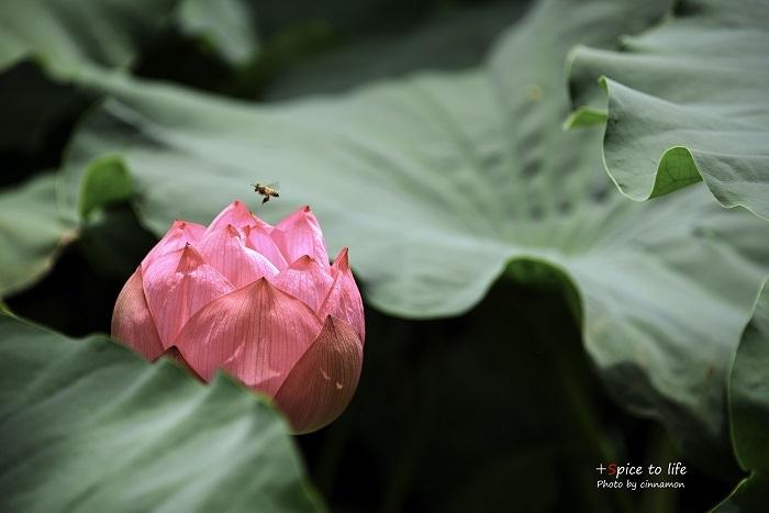 Lotus #働き蜂_f0326278_21281287.jpg