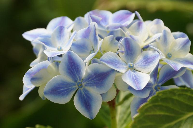 紫陽花の花_d0162994_08191893.jpg