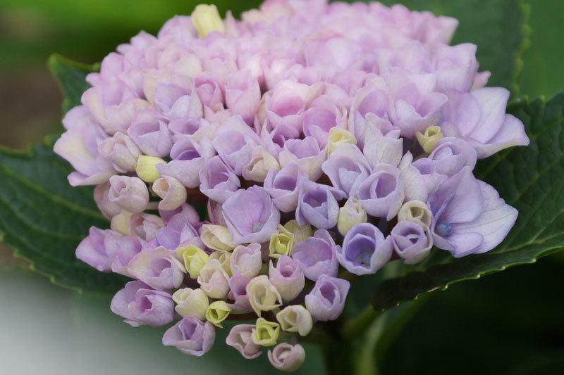 紫陽花の花_d0162994_08193319.jpg