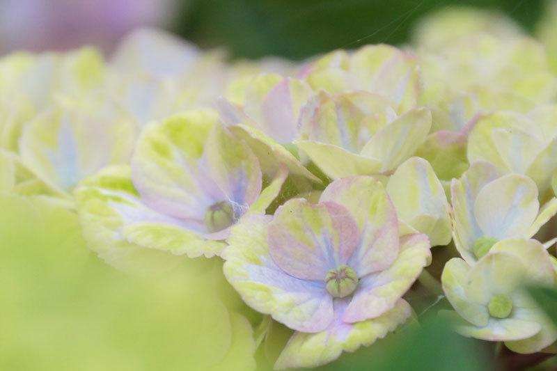 紫陽花の花_d0162994_08194913.jpg