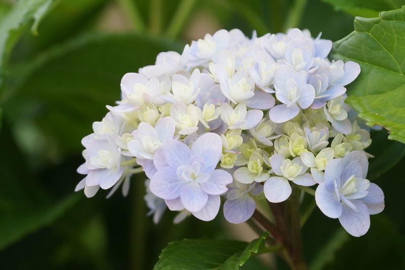 紫陽花の花_d0162994_08200429.jpg