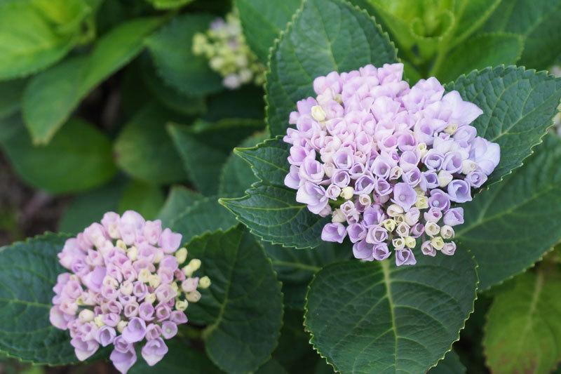 紫陽花の花_d0162994_08202468.jpg