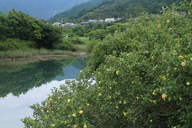 咲き誇るハマボウの花(その1)(撮影:7月13日)_e0321325_14512210.jpg