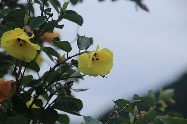 咲き誇るハマボウの花(その1)(撮影:7月13日)_e0321325_14532284.jpg