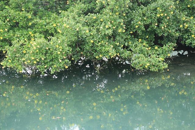 咲き誇るハマボウの花(その1)(撮影:7月13日)_e0321325_14533538.jpg