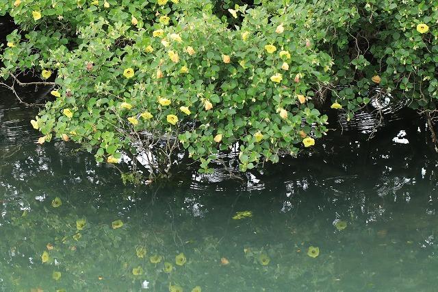 咲き誇るハマボウの花(その1)(撮影:7月13日)_e0321325_14534499.jpg
