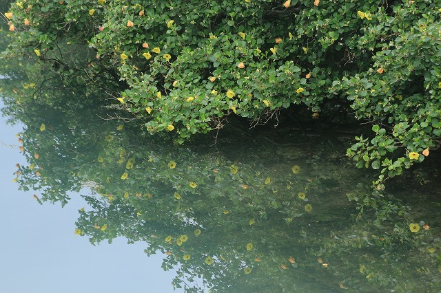 咲き誇るハマボウの花(その1)(撮影:7月13日)_e0321325_14535960.jpg