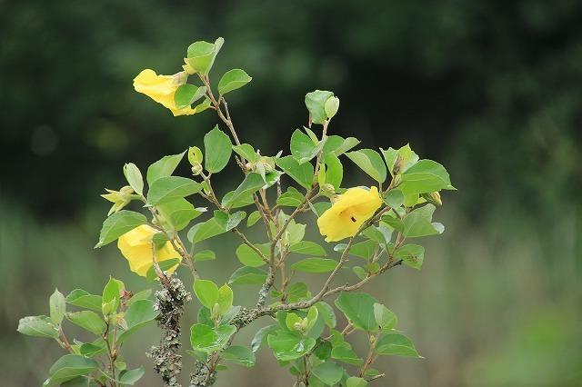 咲き誇るハマボウの花(その2)(撮影:7月13日)_e0321325_15302226.jpg
